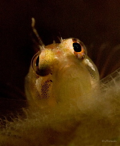 I got my eye on you.   Ringed Blenny   Salt Pier  Bonaire
